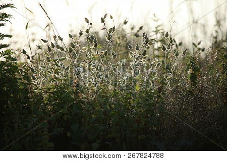 Light  Rays Shines Through Long Green Grass. Flowers On A Green Grass. Meadow With Rural Flowers. Wi
