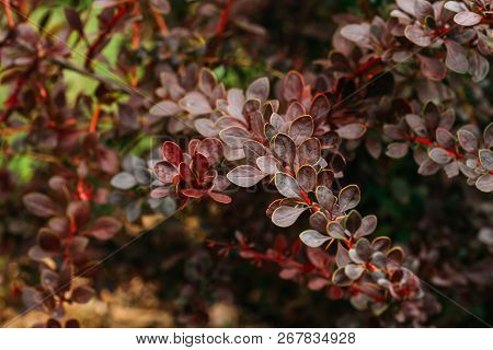 Purple Leaves On Bush Of Berberis Thunbergii, The Japanese Barberry, Thunbergs Barberry, Or Red Barb