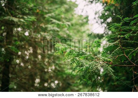 Branch Of Green Thuja Coniferous Tree In Greenwood Forest. Thuja Is A Genus Of Coniferous Trees In C
