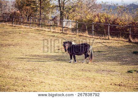 Miniature Horse-beautiful Miniature Black Shetland Pony On A Farm
