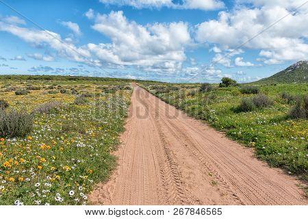 Wild Flowers Next To A Road At Postberg Near Langebaan On The Atlantic Ocean Coast In The Western Ca