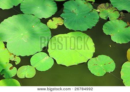 lotus leaves floating in pool poster
