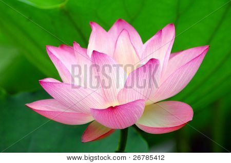 blooming lotus flower over green background.See more lotus in my portfolio poster