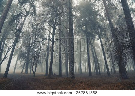 Autumn Forest Mist Trees Silhouette Landscape. Mysterious Forest Mist Trees In Autumn Fog. Halloween