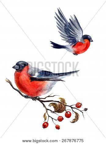 Bullfinch On Hawthorn Branch And Flying Bullfinch On White Background, Isolated With Clipping Path,