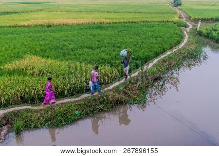Bihar State, India - October 26, 2016: Local Peasant Crossing Paddy Field Area In Bihar State Of Ind