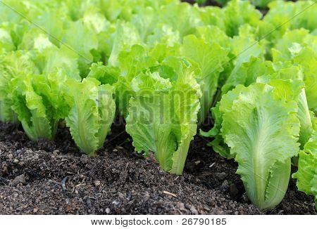 Lettuce seedlings in a field in asia