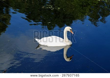 A Graceful White Swan On A Quiet Reflective Pond Swimming