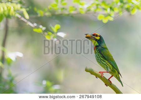 Beautiful Green Bird Coppersmith Barbet Bird And Friut For Chicks Bird Of Thailand.