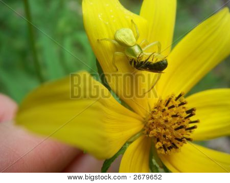 Yellow Spider Meal