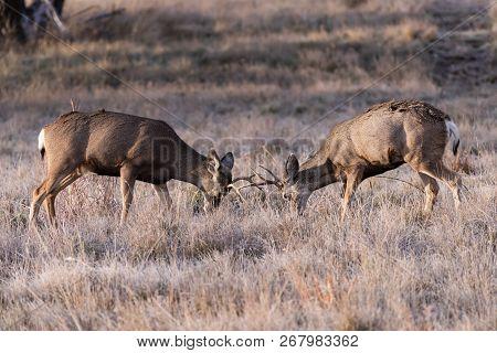 Wild Deer In The Colorado Great Outdoors. Two Mule Deer Bucks Learning To Spar