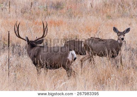 Wild Deer In The Colorado Great Outdoors. Mule Deer In A Field Of Tall Grass