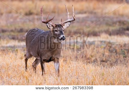Wild Deer In The Colorado Great Outdoors. White-tailed Buck In A Field.