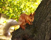 red squirrel eating nuts in the forest on a tree poster