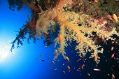 Soft Coral in blue water poster