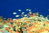 Damselfishes and Anthias on a coral reef at the Blue Hole in Egypt poster