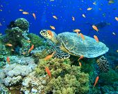 Turtle in cloud of Fairy Basslets with Scuba Diver in Background poster