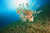 Lionfish in sunlight poster