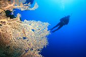 Scuba Diver and Gorgonian Fan Coral poster