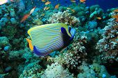 Emperor Angelfish in the Red Sea poster