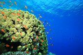 Dome coral (Porites nodifera) poster