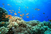 Coral Reef and Lyretail Anthias in the Red Sea poster