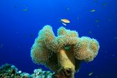 Leather Coral (Alcyoniidae) poster