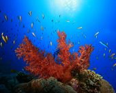 Red Soft Coral in sunlight poster