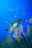 Hawksbill Turtle and Fan Corals in the Red Sea poster