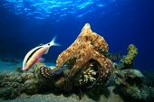 Reef Octopus hunting with goatfish following poster