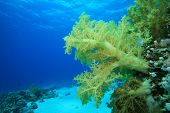 Healthy dendronephthya soft coral poster