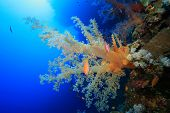 Dendronephtya Soft Corals poster