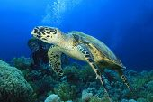 Hawksbill Turtle with Scuba Diver giving the okay signal poster