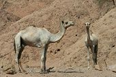 Camels in the Sinai Desert beside the Red Sea poster
