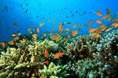 Lyretail Anthias fish and Acropora Hard Corals on a Red Sea reef poster