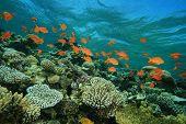 Lyretail Anthias fish on a coral reef poster