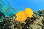 Pair of Fish on tropical coral reef: Masked Butterflyfish poster