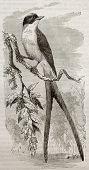 Fork-tailed Flycatcher old illustration (Tyrannus savana). Created by Kretschmer and Illner, published on Merveilles de la Nature, Bailliere et fils, Paris, 1878 poster