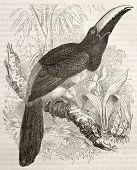 Black-necked Aracari old illustration (Pteroglossus aracari). Created by Kretschmer and Illner, published on Merveilles de la Nature, Bailliere et fils, Paris, ca. 1878 poster