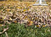 raking leaves with fan rake from the lawn poster