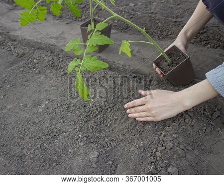 A Woman Transplants A Seedling From A Pot Into The Ground. Planting Tomato Seedlings In The Hole.