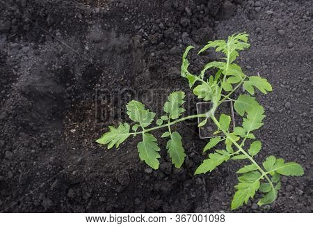 Vegetable Seedlings In A Pot Next To A Hole In The Ground For Transplanting