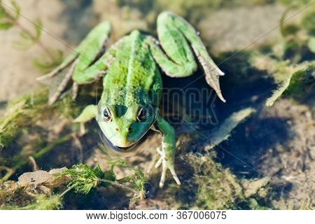 Natural Habitat Marsh Frog Green Brown Camouflage Amphibian Pelophylax Ridibundus. Up View, Selectiv