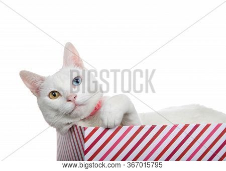 Close Up Portrait Of A White Cat With Heterochromia, Odd Eyes, Wearing A Pink Collar With Bell. Layi