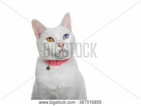 Close Up Portrait Of A White Cat With Heterochromia, Odd Eyes, Wearing A Pink Collar With Bell. Look