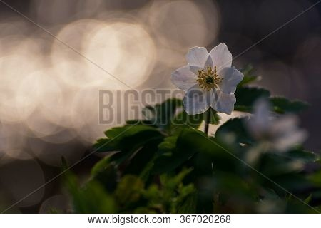 Beautiful Spring Anemone Flowers With White Petals. Spring Blooming Plants. Forest Flower