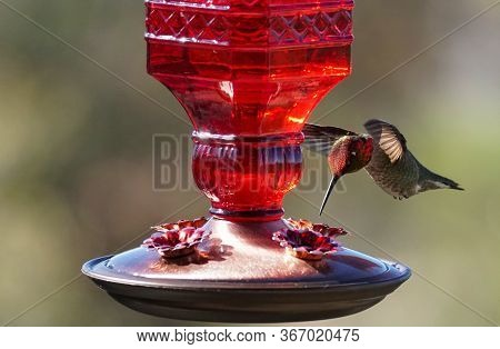 A Beautiful Red Headed Hummingbird Hovering By The Feeder Preparing To Eat.