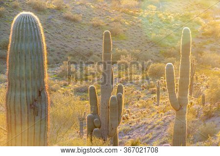 Three Saguaro Cacti Backlite Be The Evening Sun In The Sonoran Desert Of Arizona.