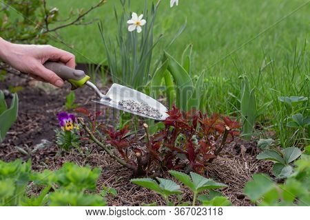 The Gardener's Hand Gives Granular Fertilizer To Young Plants. A Gloved Hand Holds A Scoop. Garden C