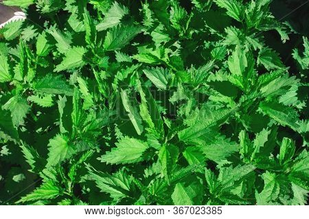 Nettle Is A Dioecious Medicinal Plant. Background Plant Nettle Grows In A Clearing.